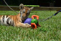 Yum yummy - tiger play