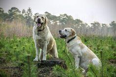Labrador, Raza, Perros, Animal