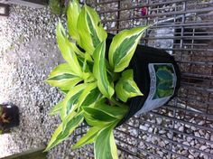 The leaf color is just the opposite of striptease so is a nice compliment plant Hosta Gardens, Leaf Coloring, Compliments, Yard, Leaves, Gardening, Nice, Plants, Pictures