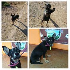 #MORI pastorcita, 3 meses, 8kg, SIGUE ESPERANDO Q ALGUIEN LA QUIERA ,AHORA EN UNA JAULA!! EN ADOPCIÓN!!! pic.twitter.com/xsVXitleA3