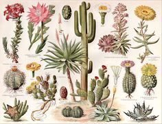 1894 Vintage Cactus cacti Succulent Varieties Original Chromolithograph Print | eBay