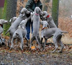 Heaven... When doing weim rescue I had 9 weims and it is heaven to love and be loved by a herd!
