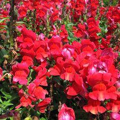 Pansies, Daffodils, Ornamental Kale, Antirrhinum, Planting Flowers, Landscaping, Seasons, Image, Gardens