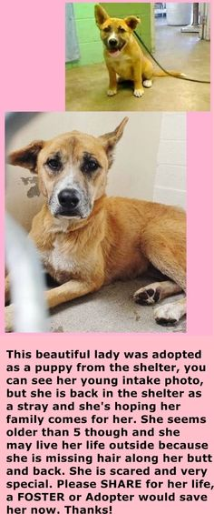 SAFE --- #A4863043 I'm an approximately 5 years, 7 month old female germ shepherd. I am already spayed. I have been at the Carson Animal Care Center since August 4, 2015. I will be available on August 16, 2015. You can visit me at my temporary home at C230.  https://www.facebook.com/171850219654287/photos/pb.171850219654287.-2207520000.1438861494./463078510531455/?type=3&theater