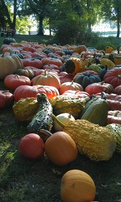Heirloom pumpkins and gourds