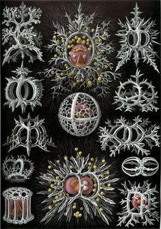 Ernst Haeckel Lámina 71, Stephoidea