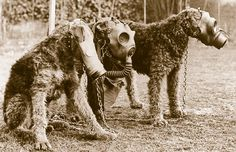 War Dogs – during WW1 dogs were used as sentries, scouts, explosives, ratters & mascots