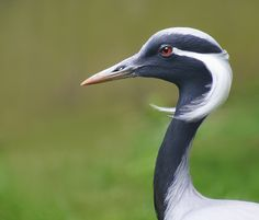 Birds ©: Demoiselle Crane [found in central Eurasia, ranging from the Black Sea to Mongolia and North Eastern China]. Kinds Of Birds, All Birds, Love Birds, Pretty Birds, Beautiful Birds, Animals Beautiful, Photo Animaliere, Crane Bird, Mundo Animal