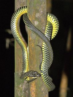 Paradise Tree Snake-Just 'toooo' much snake going on there. Asw