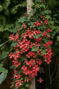 Tropaeolum speciosum Poeppig & Endl. (Flame Nasturtium)