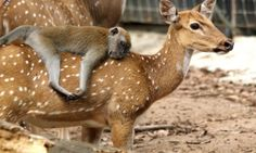 This docile female deer carried the long-tailed macaque on her back at the Melaka Zoo in Malaysia