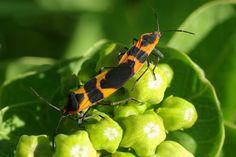 Large Milkweed Bugs are aptly named. They are most often seen on milkweed (Oncopeltus fasciatus).