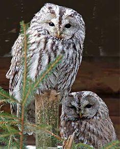 Kattuggla / Tawny owl or Brown owl (Strix aluco) - NatureGate Strix Aluco, Tawny Owl, Beautiful Owl, Snowy Owl, Birds Of Prey, Maine Coon, Spirit Animal, Bird Houses, Pet Birds