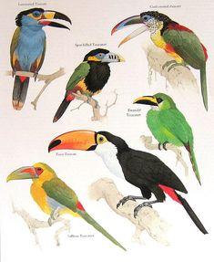 Laminated Toucan, Spot Billed Toucanet, Curl Crested Aracari, Saffron Toucanet Vintage 1984 Birds Book Plate. $10.00, via Etsy.