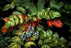 Oregon Grape Holly Thorny Bushes, Oregon Grape, Falling Leaves, Ferns, Autumn Leaves, Commercial, Seasons, Fruit, Floral