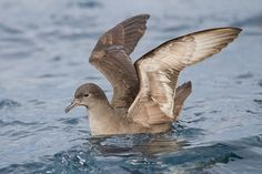 Short-tailed Shearwater (27,000 miles migration) Travels the Pacific every year, moving from breeding grounds in Australia in the austral winter up to the Aleutian Islands and Kamchatka in the far north, then traveling back down the western coast of North America before crossing over to Australia to begin its next breeding season.