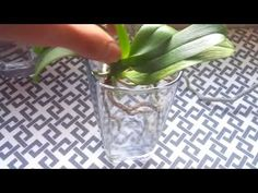 Using a temporary water culture method, I sprout new roots on my orchids. Then I pot them up and they devour the new media. Orchid Plant Care, Orchid Plants, Orchid Repotting, Freshwater Plants, Orchid Roots, Growing Orchids, New Roots, House Plant Care, Edible Flowers