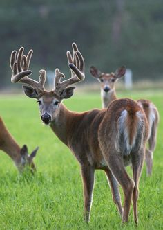 Deer and Whitetail Collection - Perfect gifts for the deer hunter and whitetail lover! Whitetail Deer Pictures, Deer Photos, Hunting Girls, Elk Hunting, Funny Hunting, Reno Animal, Beautiful Creatures, Animals Beautiful, Big Deer