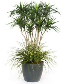 Deluxe Yucca Silk Floor Plant by Silkflowers.com