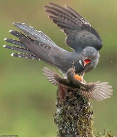 As the cuckoo sits on the perch the robin swoops in and grabs it with its tiny claws. The cuckoo opens its beak to squawk and peck at the much smaller bird Red Robin, Robin Bird, Small Birds, Pet Birds, Dramatic Photos, Large Painting, Birds Of Prey, Wildlife Art, Wire Art