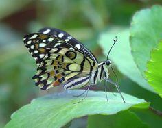 Butterfly@