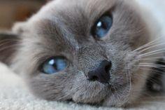 Todo sobre el gato Azul ruso