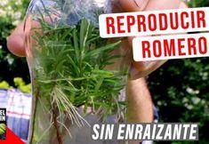 Cómo reproducir Romero – 3 Fáciles métodos Holly Owens, Lavander, Flower Planters, Aquaponics, Cilantro, Cactus, Herbs, Plants, Kiwi