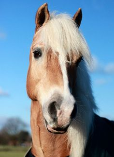 .Country harness carriage draft horse Gyspy Vanner belgian cob shire hafflinger fjord clydesdales pinto
