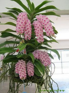 Orchid: Rhynchostylis gigantea 'Spot' - Species from Southeast Asia Grown  PAPHIO IN OKINAWA-Blog