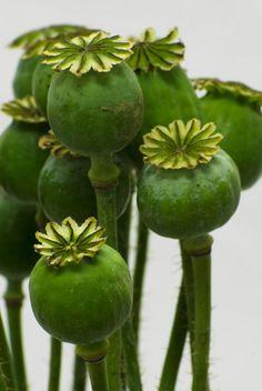 Poppy pods, fresh