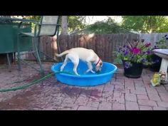 This yellow Labrador grabs a hose to fill up her own kiddie pool! (a funny dog video)