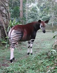 """The Okapi or """"forest giraffe"""" only lives in the Ituri Forest   Okapi Conservation Project"""