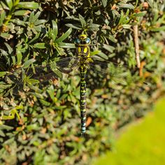 Southern Hawker Dragonfly (Aeshna cyanea) in the Gardens of Chatsworth House, Peak District National Park  #aeshna #animal #beautiful #bug #chatsworth #closeup #cyanea #district #dragonfly #england #garden #gardens #green #hawker #house #insect #national #nature #outdoors #park #peak #plant #southern #uk #wild #wildlife