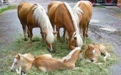 Palomino Mares and Their Foals at a Stream.