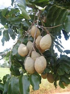 Fruits of Baru Tree (Dipteryx alata) can only be found in the Cerrado region of Brazil and Chiquitano region of Bolivia. The fruits, which are brown in colour usually weighs around 25g of which 30% is pulp. The pulp is sweet and can be consumed but is also used to manufacture jams and liquors