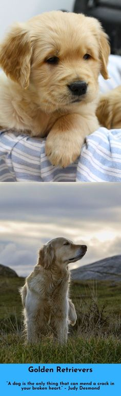 """""""I don't trust anybody in my life except my mother and my dogs."""" #goldenretrievers #lovegolden"""