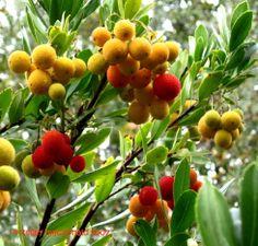 Strawberry tree (Arbutus unedo 'Compacta'), evergreen tree or shrub to 8-12 ft. White flowers, gold & red fruit fall/winter. USDA Hardiness Zone: 7-9.   http://www.monrovia.com/plant-catalog/plants/103/dwarf-strawberry-tree/