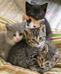 A beautiful group of five kittens. I especially love the black kitten at the back looking square into the camera! ♥ Pin for later.