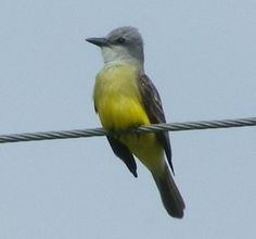 couch's kingbird |Spotted:  Kingsville, TX 2006