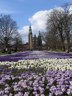 crocuses in bloom, Rosenborg garden, Copenhagen, Denmark. Photo: khoogheem, via Flickr