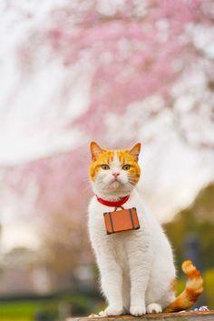 Twitter / nyalan_jalan: 弘前城の桜が、 今年で見納めと聞いて見にきたにょだ〜♪