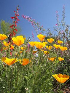 Look for Low-Care Wildflowers - desert southwest.  California poppy, penstemon, and salvia are three common wildflowers that thrive in most regions. They're a great choice for adding color to the landscape without increasing the amount of maintenance you have to do.
