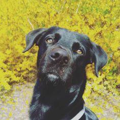 La sequenza che vede il raggiro dell'umano ai danni di Snoopy. L'ultimo fotogramma mostra il disappunto del canide quando ha scoperto che tra le mani non c'era nessun biscotto.  #BauSocial  Foto di: @rcfoto  #SorrySnoopy  #JeSuisSnoopy  #cane #dog #blackdog #blacklab #retriever #dogs #instadog #doglovers #yellow #spring #primavera #parco #milano #carmelobene #love #sorry #italia #dogofinstagram #gingham #tbt #friends #happy #tagsforlikes #amazing