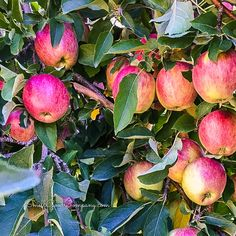 This photo was taken by one of my friends while we were apple picking last Autumn. We sincerely tried to capture that true ripe apple fragrance in our Apple Orchard Candle which is also infused with natural cinnamon, nutmeg, clove, orange, and cedarwood essential oils. Because we all know apples are best in PIE!!!