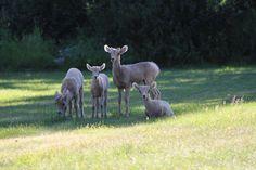 "itsallrighthereforyoutosee: ""#deer #family #photo #relaxing #watertonnationalpark #Waterton #park #itsallrighthereforyoutosee #photooftheday #photography #follow4follow #unfiltered"""