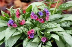Shade Lovers A Variety Of Plants With Interesting Leaves Including Astilboides Lamium Hosta Heuchera Aconit Shade Garden Shade Garden Plants Shade Plants