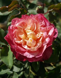 ~Tea Rose: Rosa 'Rosette Delizy' (France, 1922)