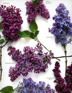 "Lilacs ~ ""first emotions of love"""