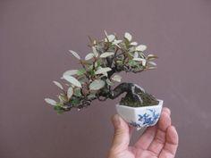 black pine bonsai - Google Search