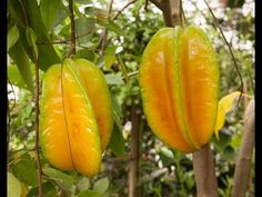 How to Grow Star Fruit in Containers - YouTube